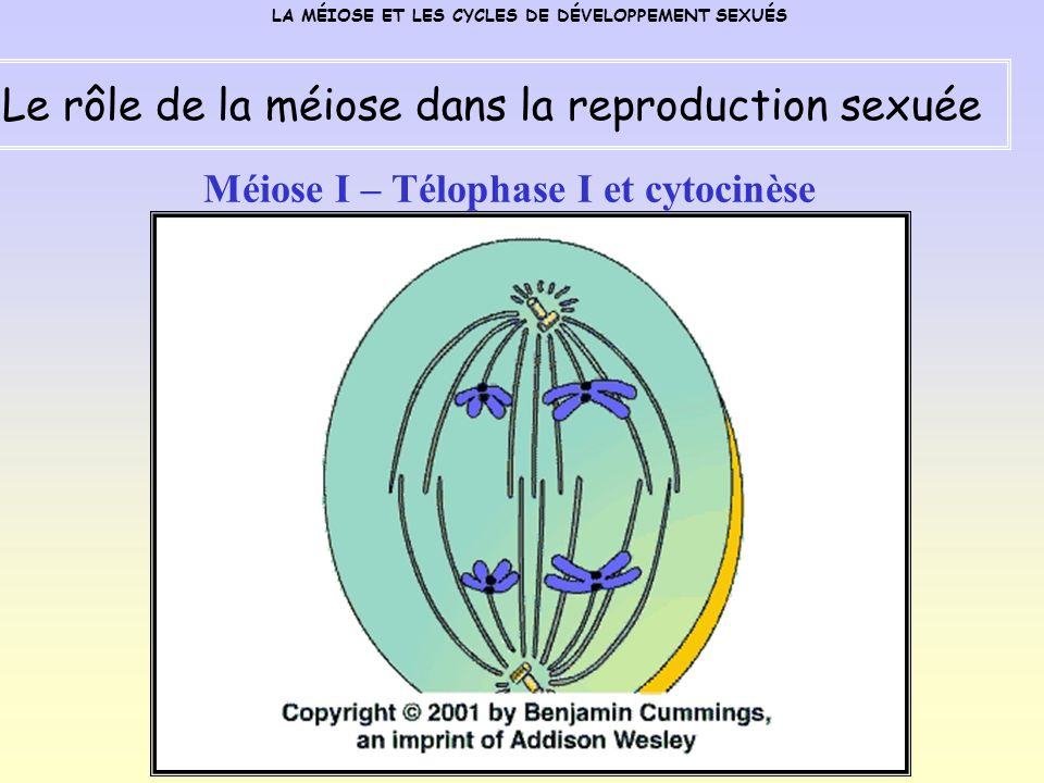 Méiose I – Télophase I et cytocinèse