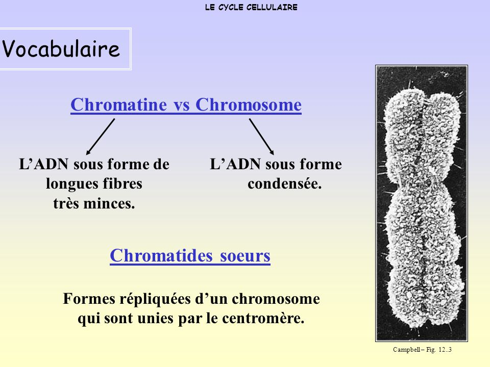 Vocabulaire Chromatine vs Chromosome Chromatides soeurs