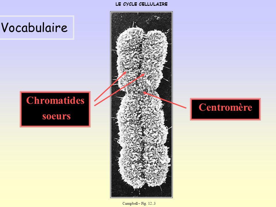 Vocabulaire Chromatides soeurs Centromère LE CYCLE CELLULAIRE