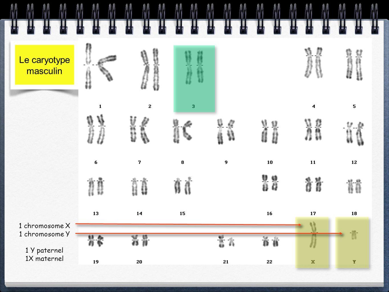 Le caryotype masculin 1 chromosome X 1 chromosome Y 1 Y paternel