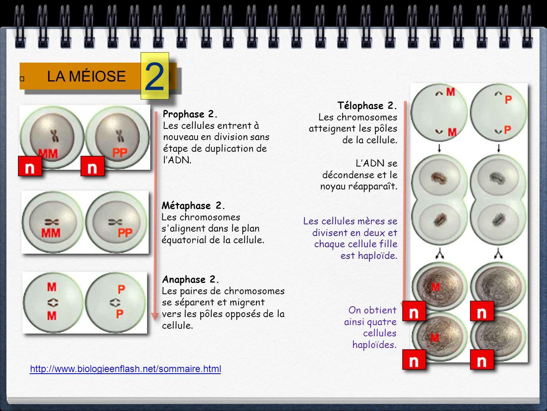 2 LA MÉIOSE. Télophase 2. Les chromosomes atteignent les pôles de la cellule. L'ADN se décondense et le noyau réapparaît.