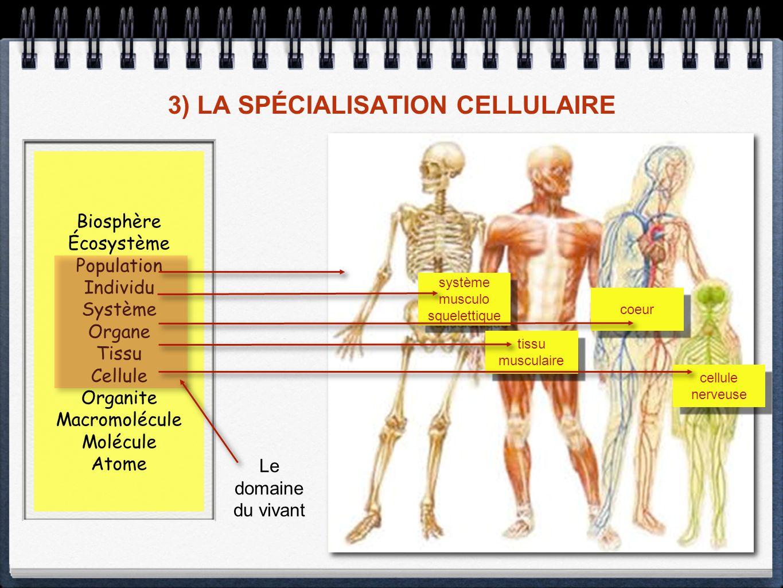 3) LA SPÉCIALISATION CELLULAIRE