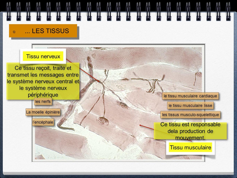... LES TISSUS Tissu nerveux