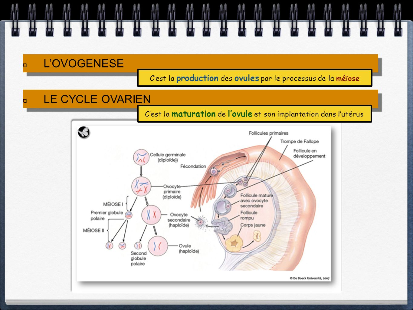 L'OVOGENESE LE CYCLE OVARIEN