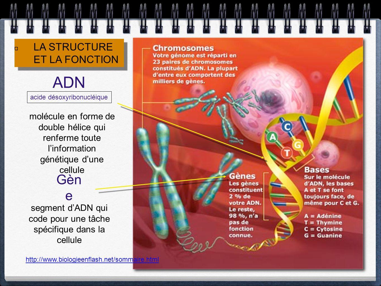 ADN Gène LA STRUCTURE ET LA FONCTION