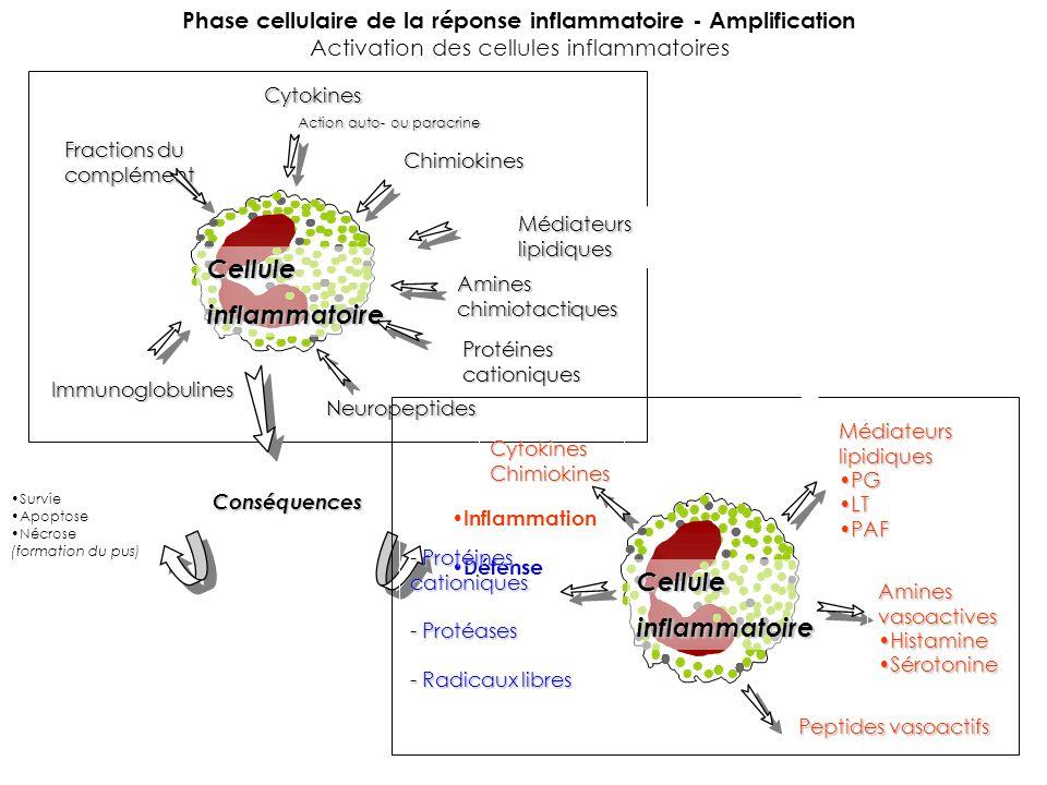 Phase cellulaire de la réponse inflammatoire - Amplification