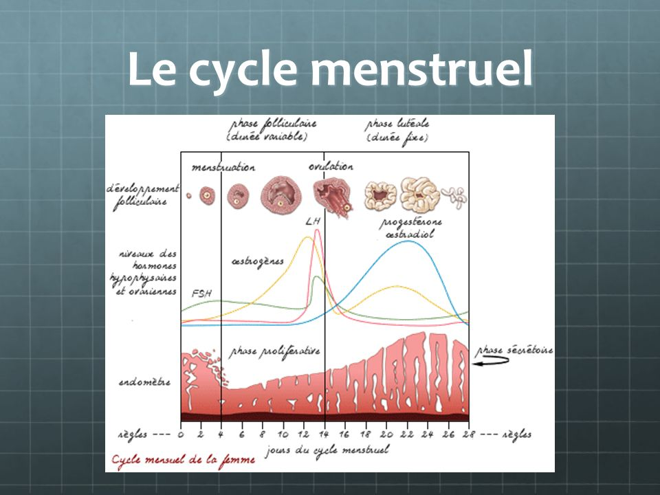 Le cycle menstruel