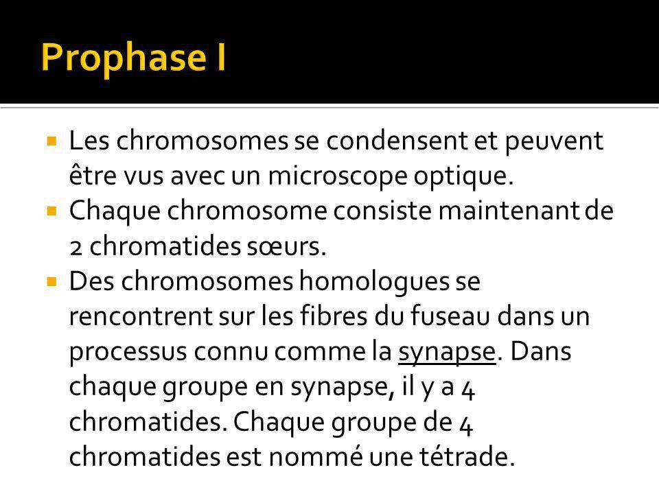 Prophase I Les chromosomes se condensent et peuvent être vus avec un microscope optique.