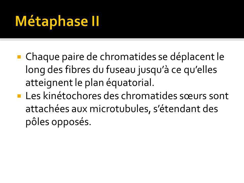 Métaphase II Chaque paire de chromatides se déplacent le long des fibres du fuseau jusqu'à ce qu'elles atteignent le plan équatorial.