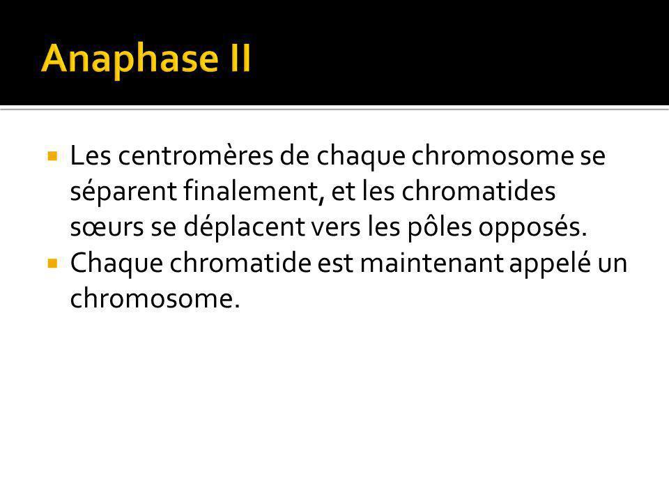 Anaphase II Les centromères de chaque chromosome se séparent finalement, et les chromatides sœurs se déplacent vers les pôles opposés.