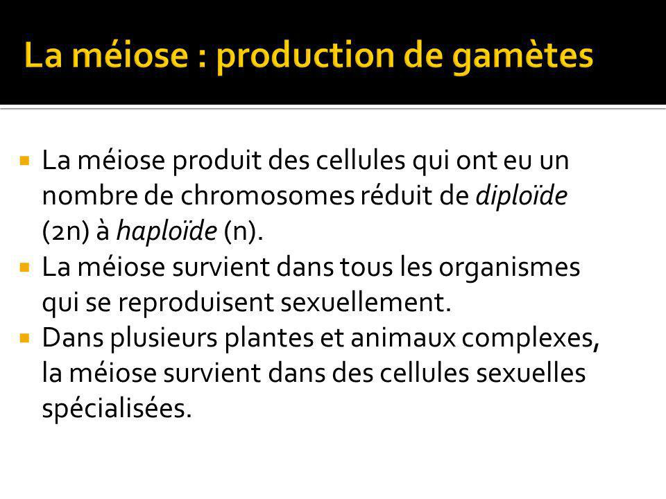 La méiose : production de gamètes