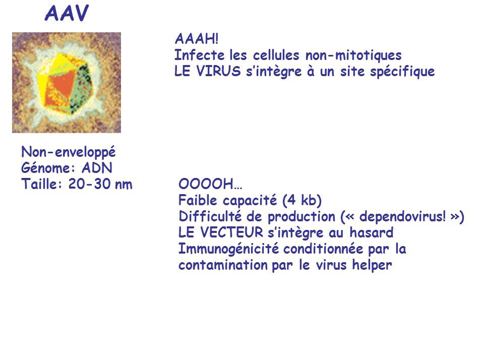 AAV AAAH! Infecte les cellules non-mitotiques