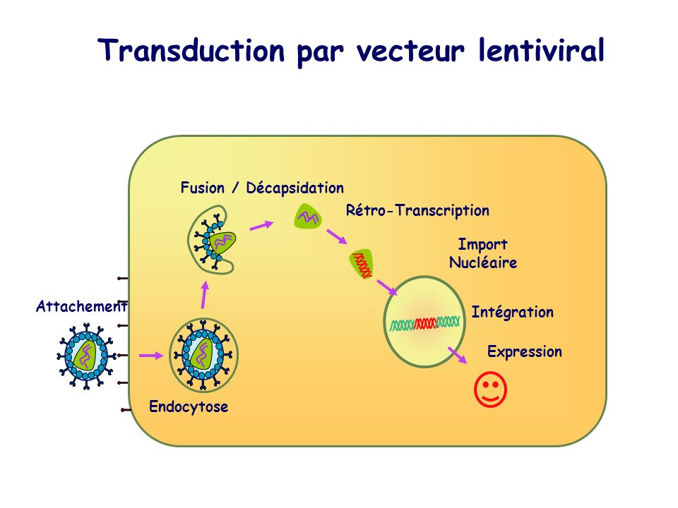 Transduction par vecteur lentiviral