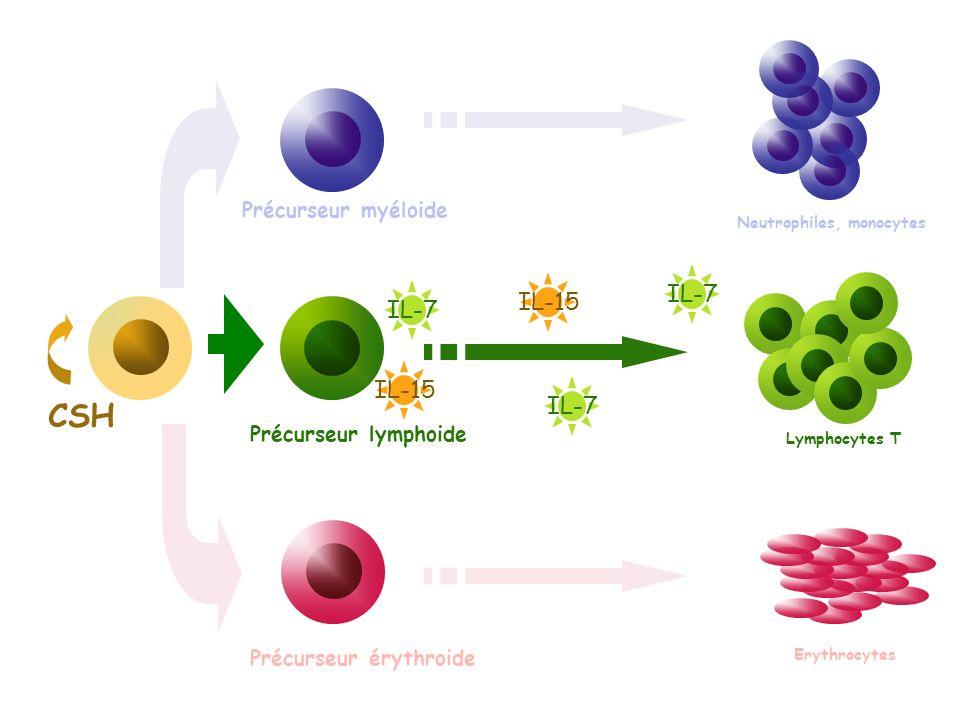 CSH IL-7 IL-15 IL-7 IL-15 IL-7 Précurseur myéloide
