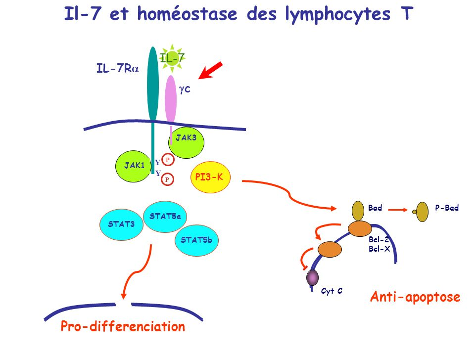 Il-7 et homéostase des lymphocytes T