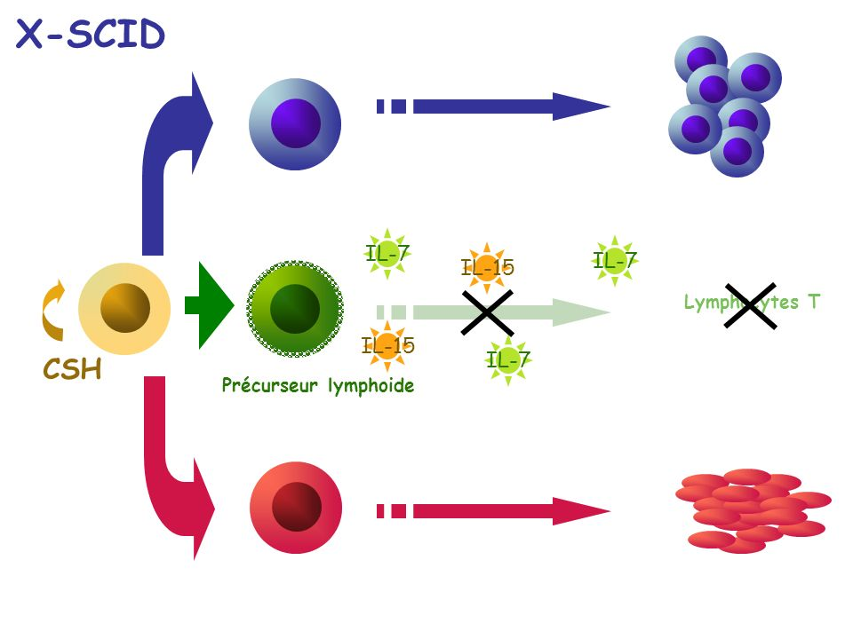 X-SCID CSH IL-7 IL-7 IL-15 IL-15 IL-7 Lymphocytes T