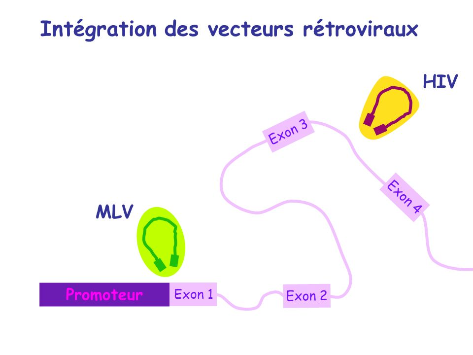 Intégration des vecteurs rétroviraux