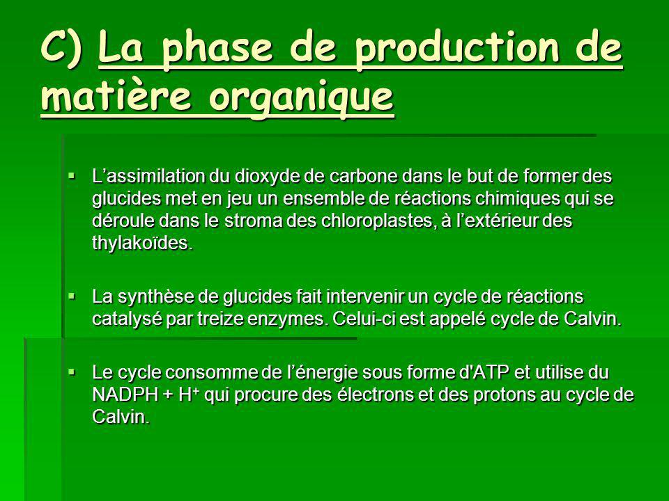 C) La phase de production de matière organique
