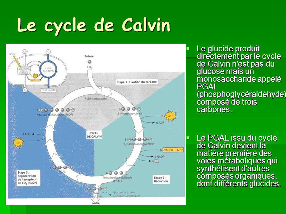 Le cycle de Calvin