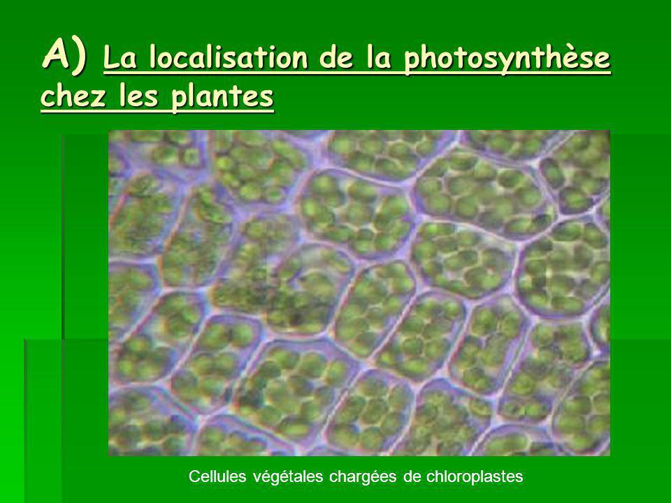 A) La localisation de la photosynthèse chez les plantes