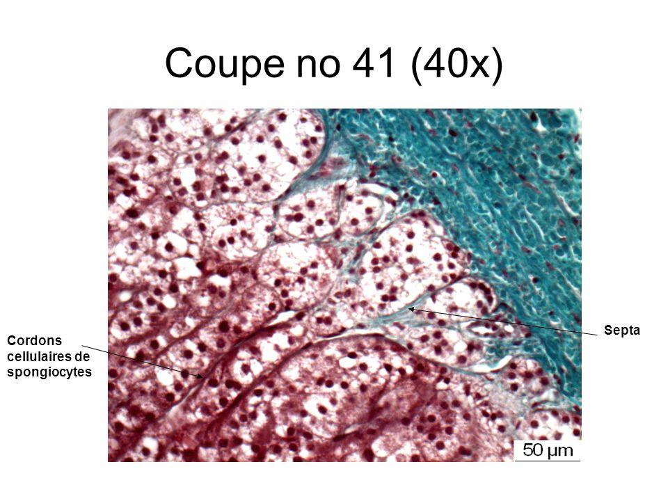 Coupe no 41 (40x) Septa Cordons cellulaires de spongiocytes