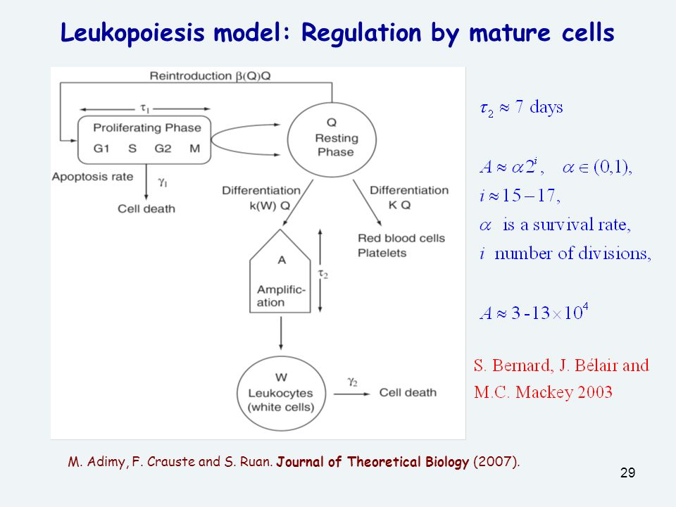 Leukopoiesis model: Regulation by mature cells