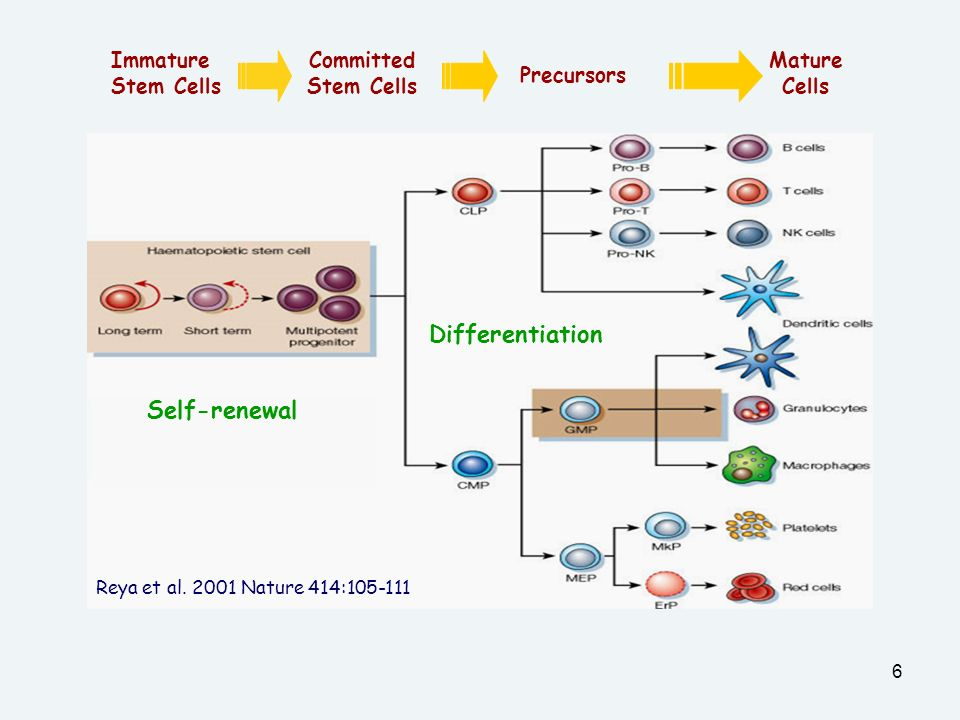 Differentiation Self-renewal Immature Stem Cells Committed Stem Cells