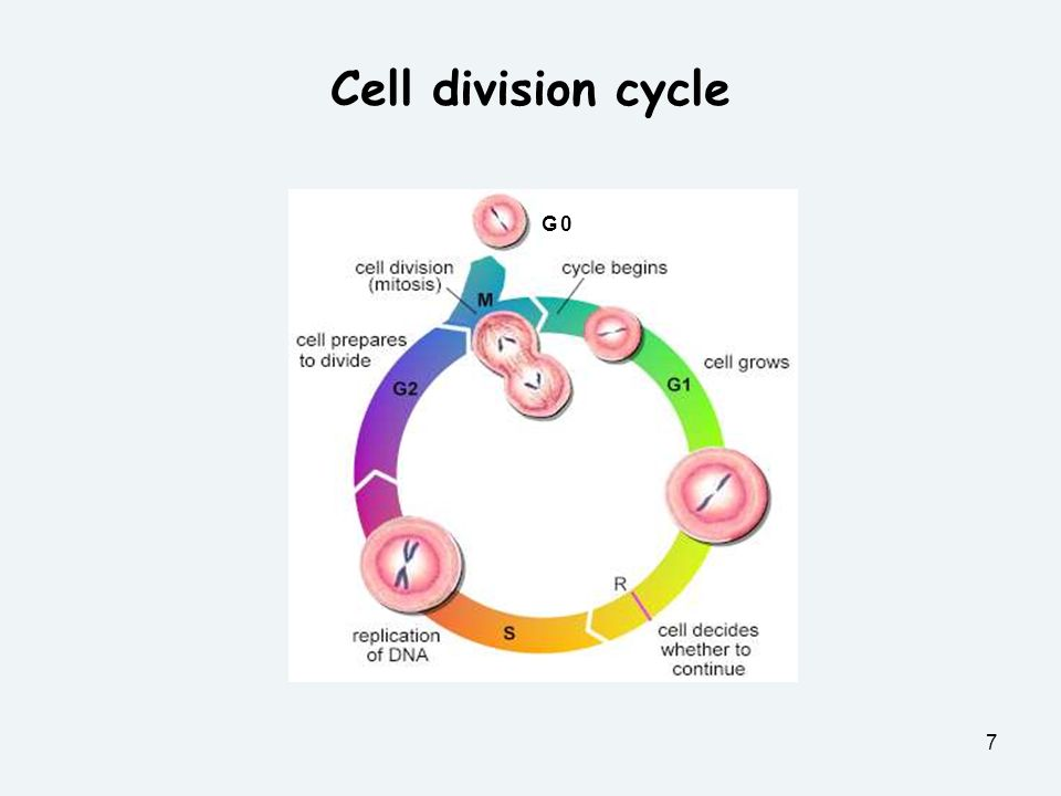 Cell division cycle G 0