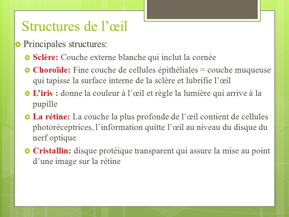 Structures de l'œil Principales structures: