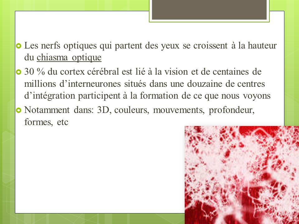 Les nerfs optiques qui partent des yeux se croissent à la hauteur du chiasma optique