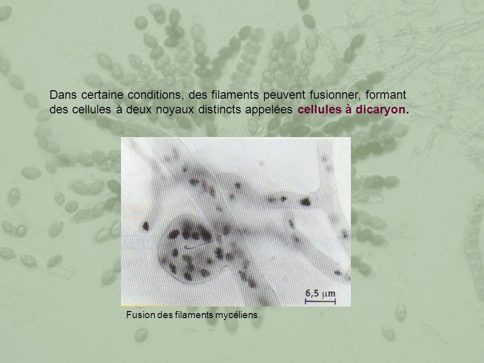 Dans certaine conditions, des filaments peuvent fusionner, formant des cellules à deux noyaux distincts appelées cellules à dicaryon.