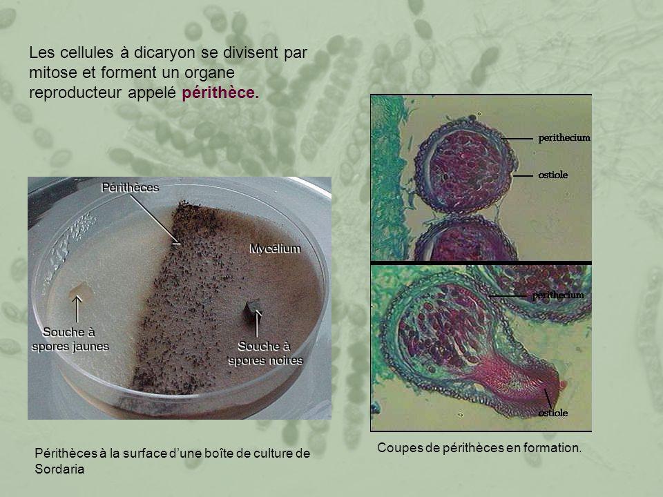 Les cellules à dicaryon se divisent par mitose et forment un organe reproducteur appelé périthèce.