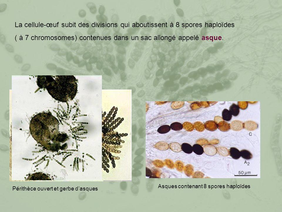 ( à 7 chromosomes) contenues dans un sac allongé appelé asque.