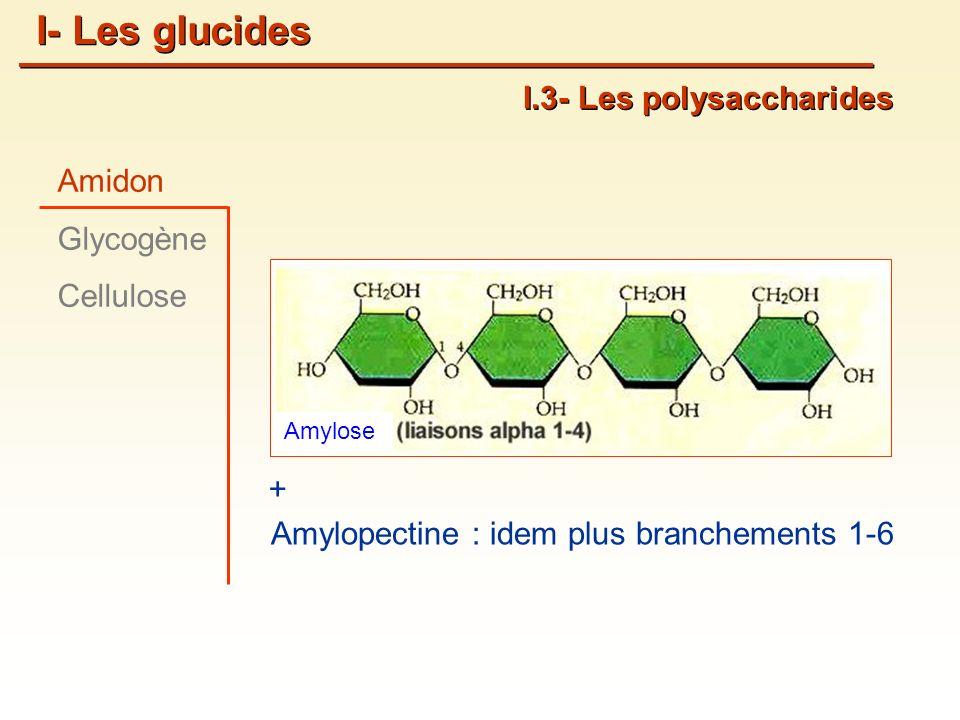 I- Les glucides I.3- Les polysaccharides Amidon Glycogène Cellulose +