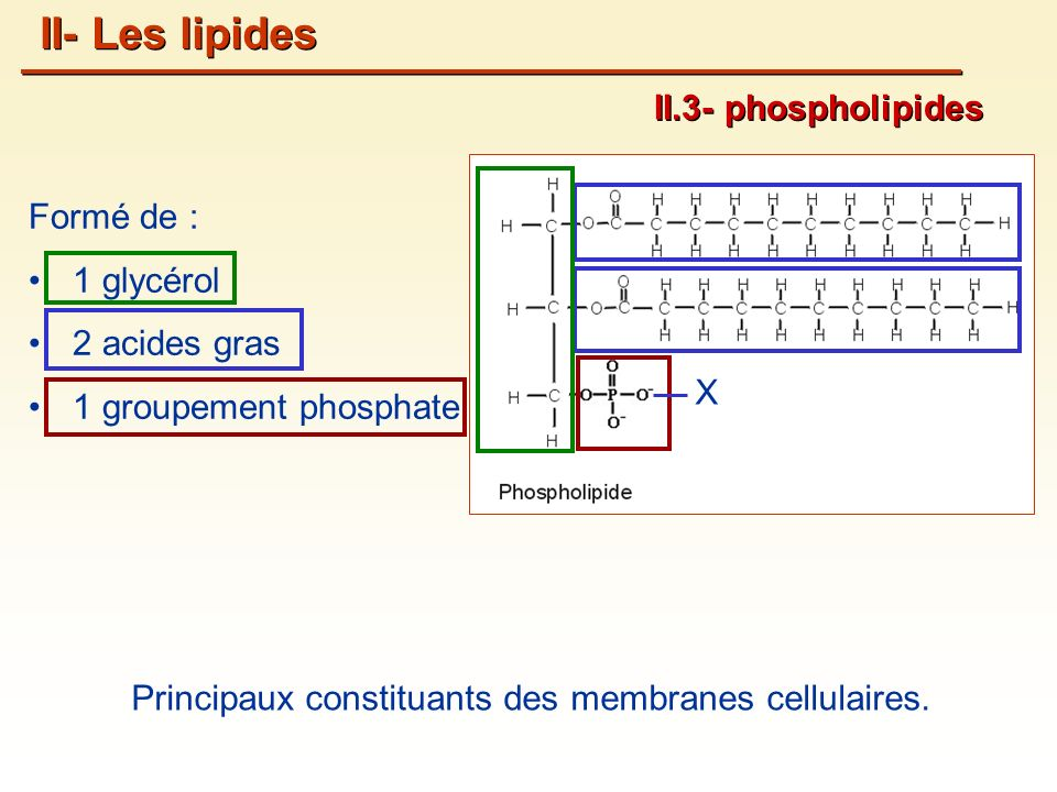 II- Les lipides II.3- phospholipides Formé de : 1 glycérol