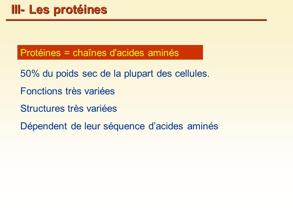 III- Les protéines Protéines = chaînes d acides aminés
