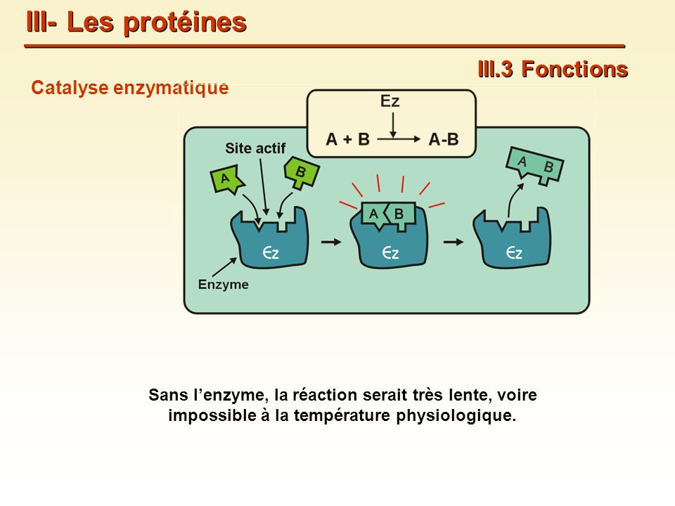 III- Les protéines III.3 Fonctions Catalyse enzymatique