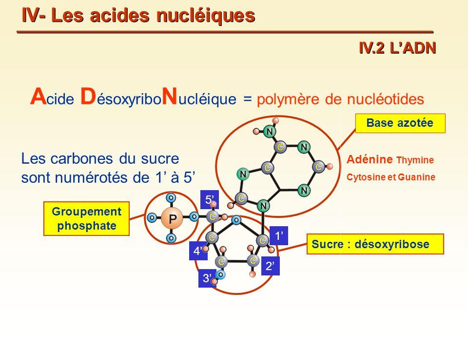 Acide DésoxyriboNucléique = polymère de nucléotides
