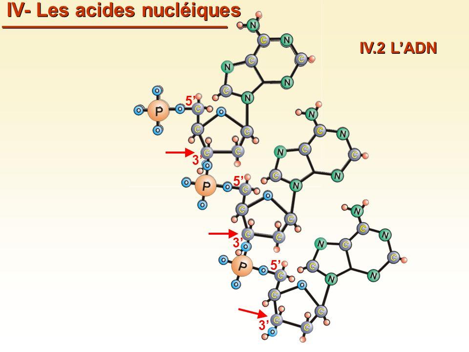 IV- Les acides nucléiques