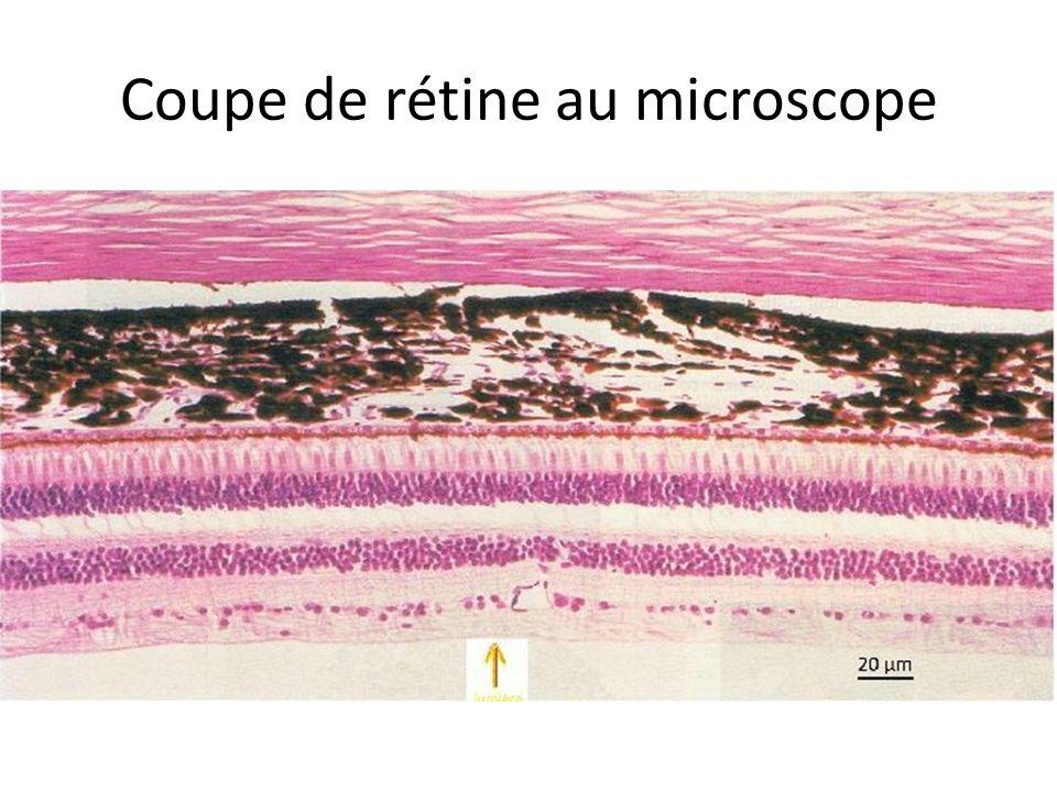 Coupe de rétine au microscope