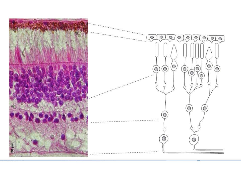 4 couches dans les coupes de rétine à repèrer aux noyaux