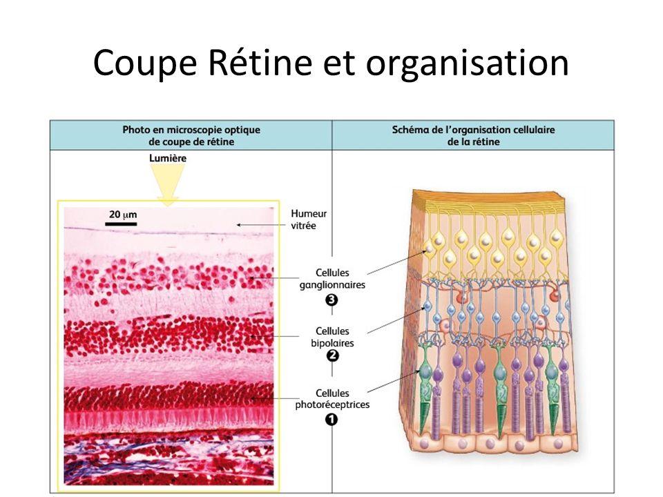 Coupe Rétine et organisation