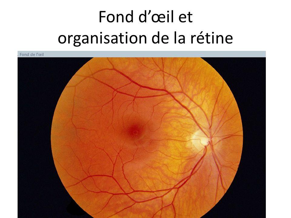 Fond d'œil et organisation de la rétine