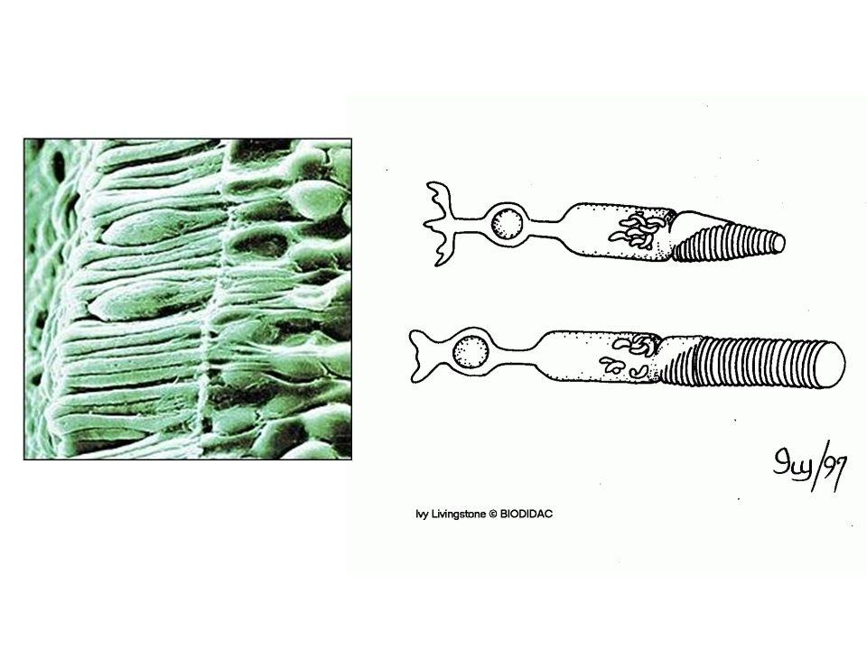 MEB: cones et batonnets de forme différentes