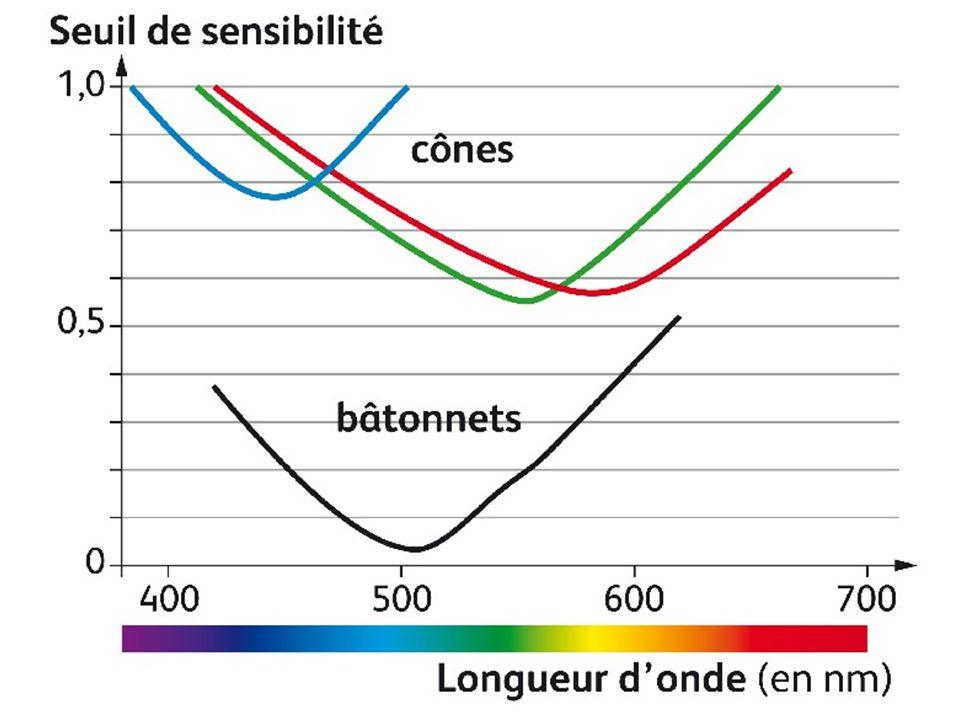 Les batonnets sont plus sensibles à de faibles lumières en particulier dans le vert.