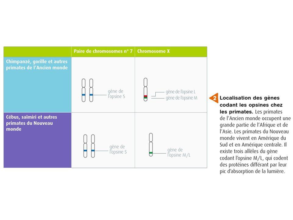 3gènes sur 2 chromosomes