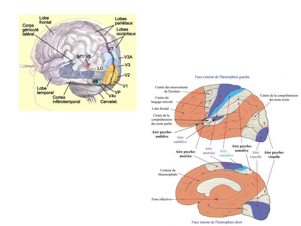 Zones découvertes: aire visuelle dans le lobe occipital