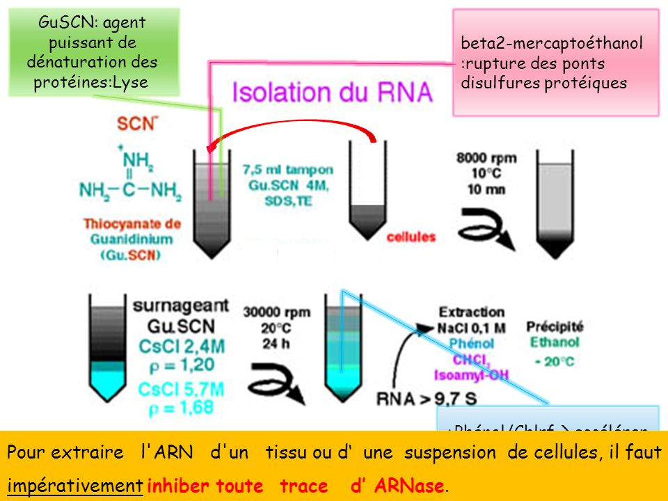 GuSCN: agent puissant de dénaturation des protéines:Lyse