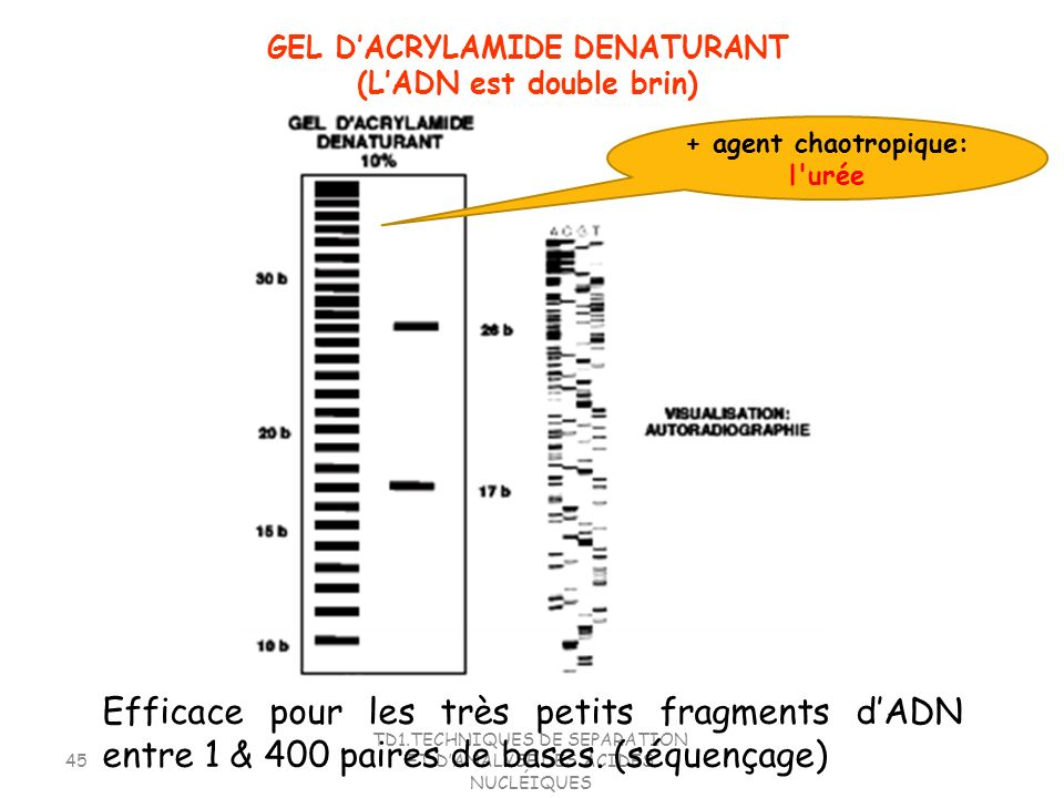 GEL D'ACRYLAMIDE DENATURANT (L'ADN est double brin)