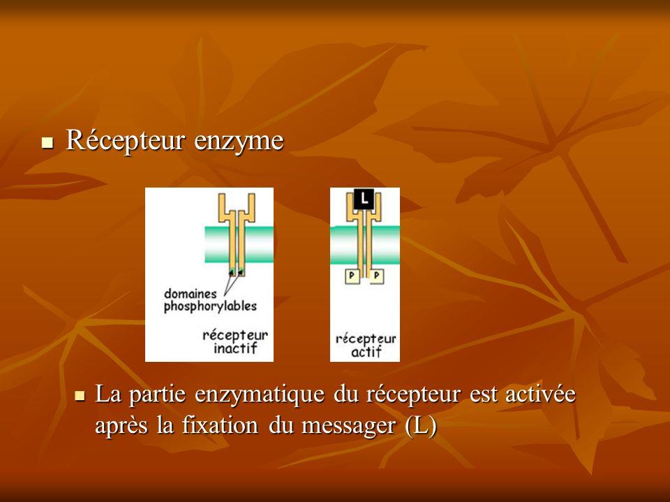 Récepteur enzyme La partie enzymatique du récepteur est activée après la fixation du messager (L)